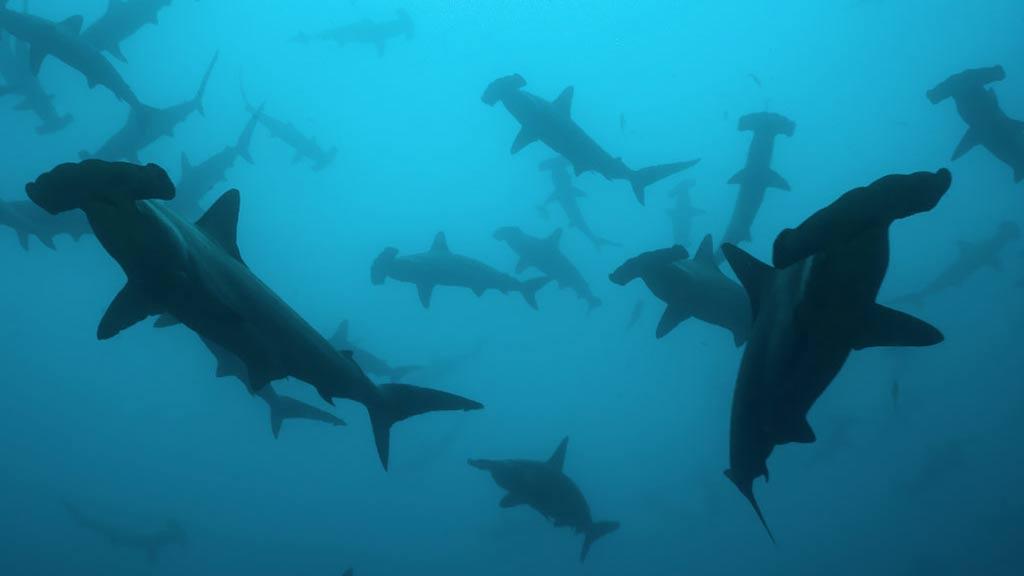 school of galapagos hammerhead sharks