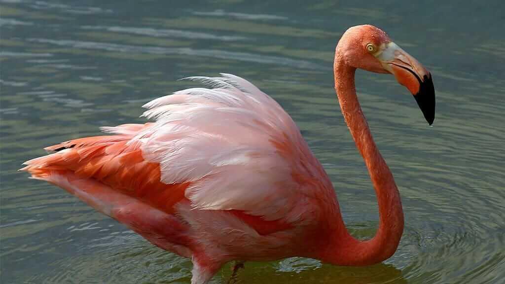 american flamingo at rabida island Galapagos