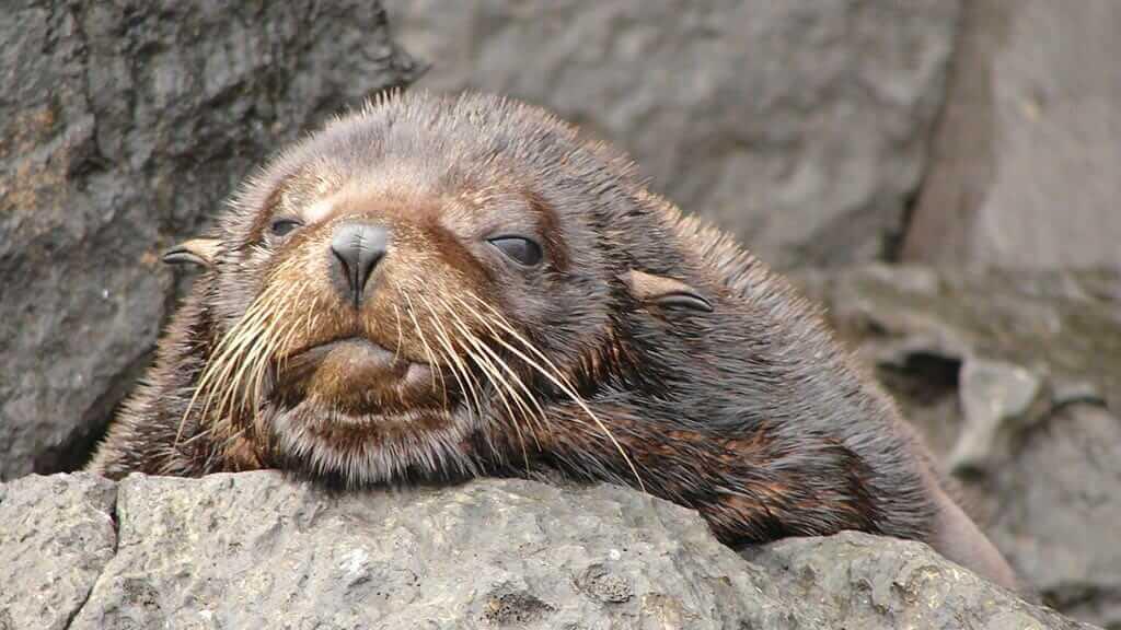 A Cute galapagos fur seal peeps over a rock