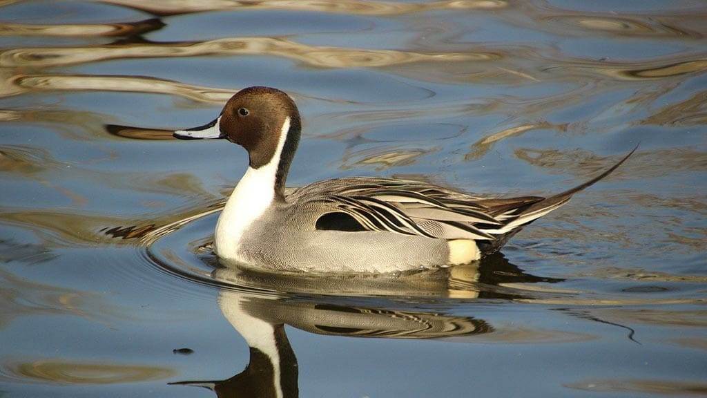 pintail duck galapagos islands