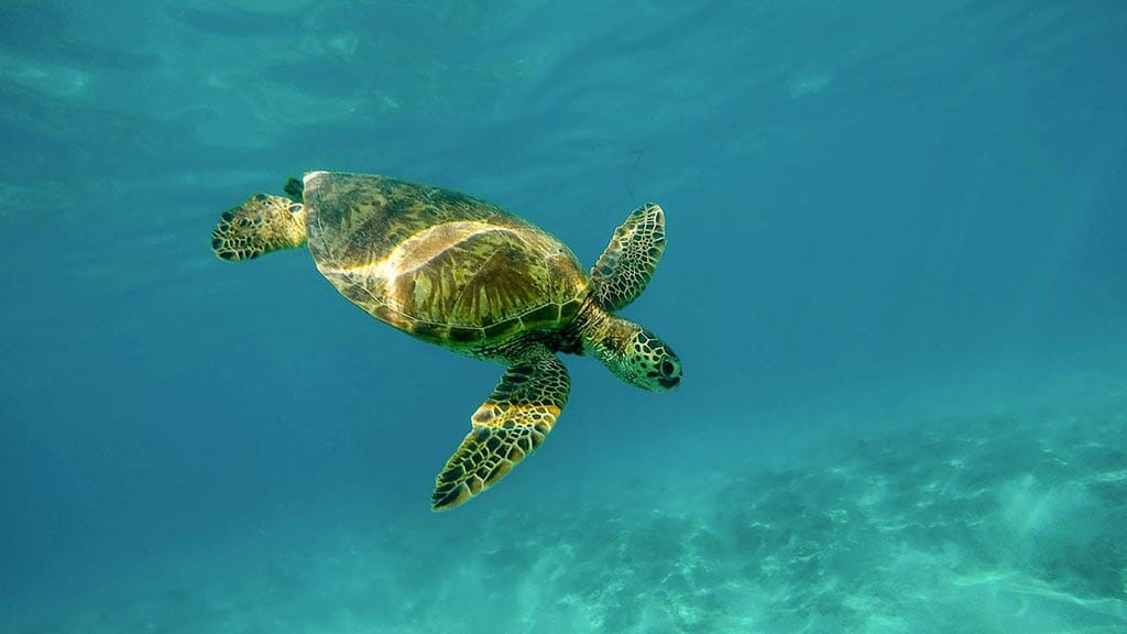 Galapagos green sea turtle swimming alone under clear blue water