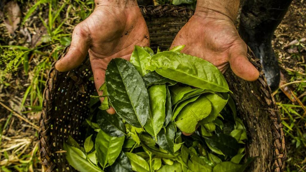 medicinal plants of ecuador - guayusa leaves used to make tea
