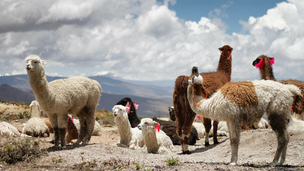 llamas on the peruvian altiplano