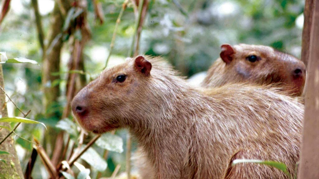 two adult capybaras at amazon dolphin lodge