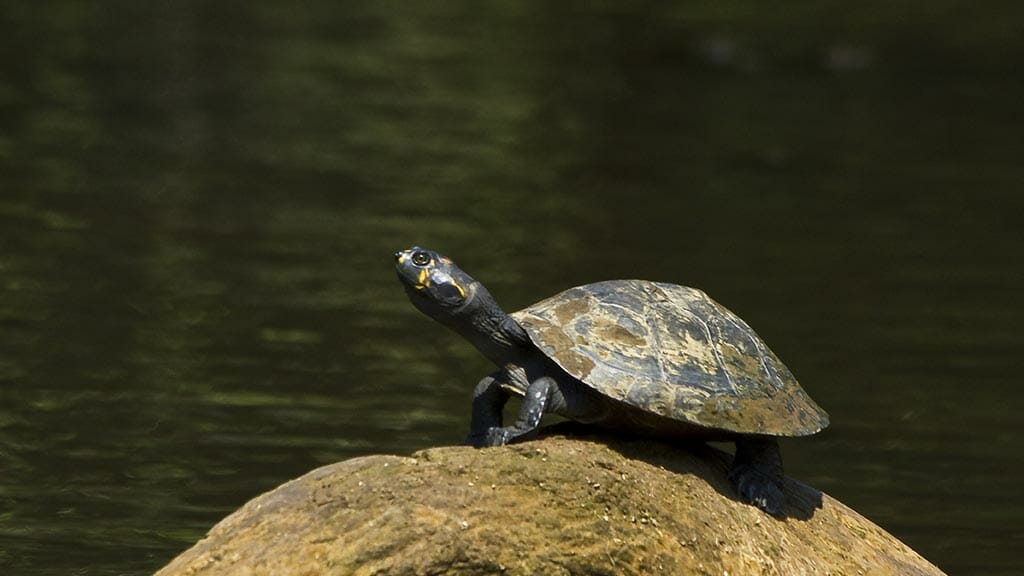 a rainforest turtle sitting on a rock at amazon dolphin lodge ecuador