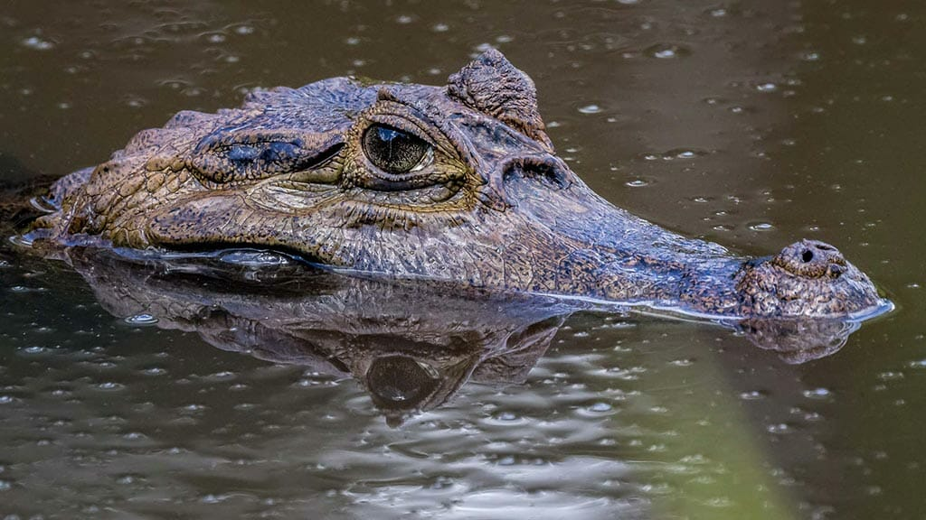 a black caiman alligator pokes his head from the dark water close to anaconda lodge tena ecuador