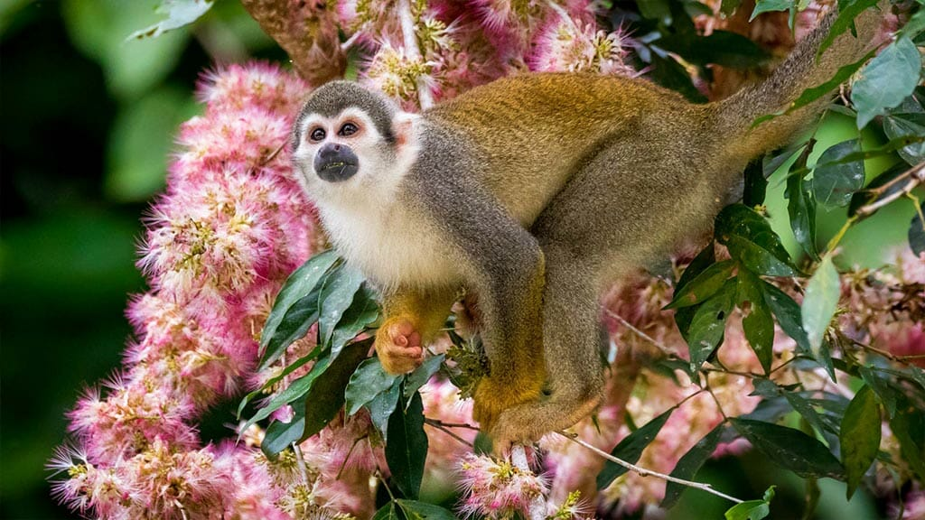 a squirrel monkey with pink flowers at anaconda lodge ecuador