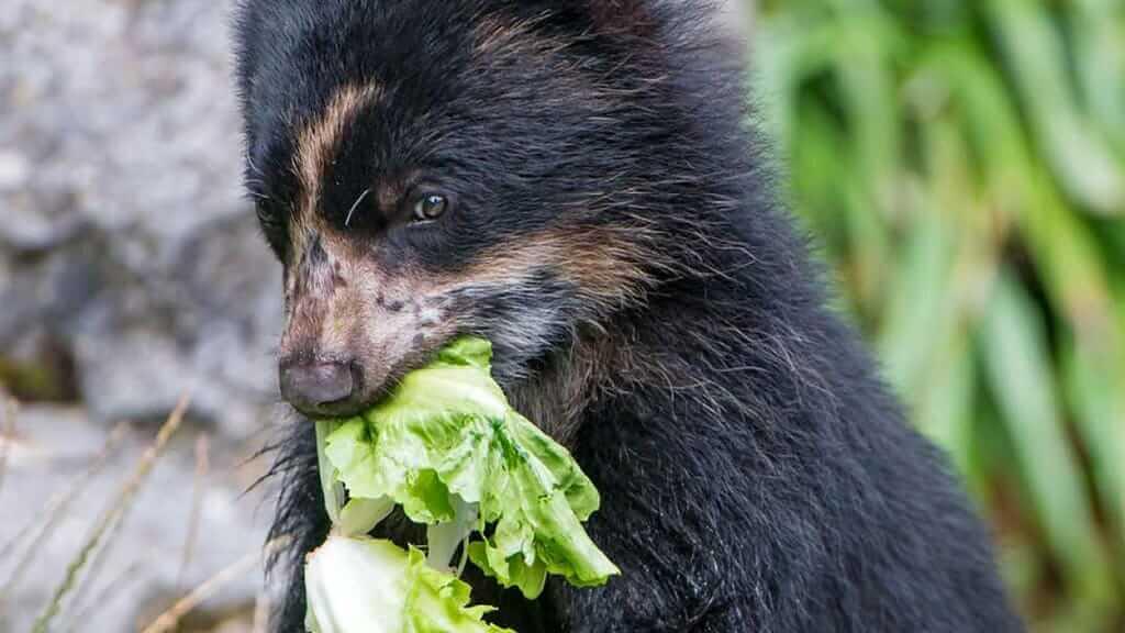 andean-bear-eating