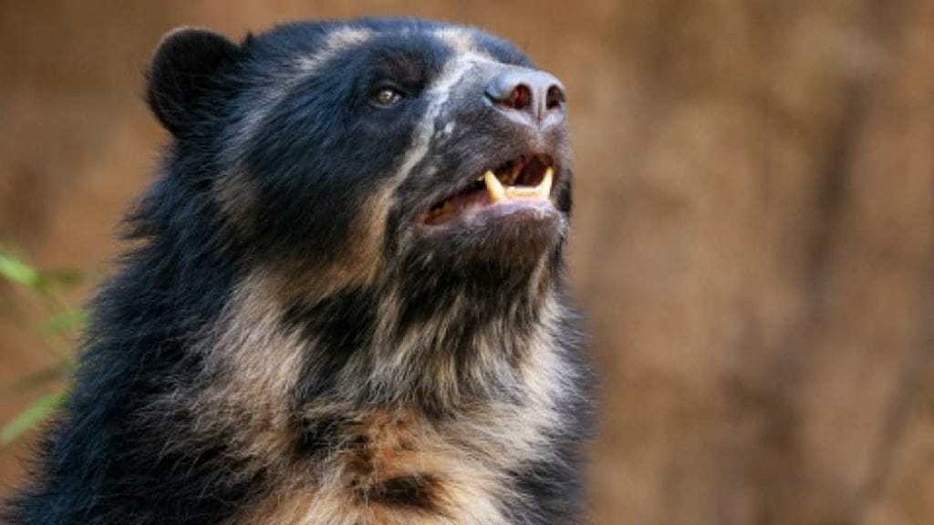 andean-bear-face-close-up