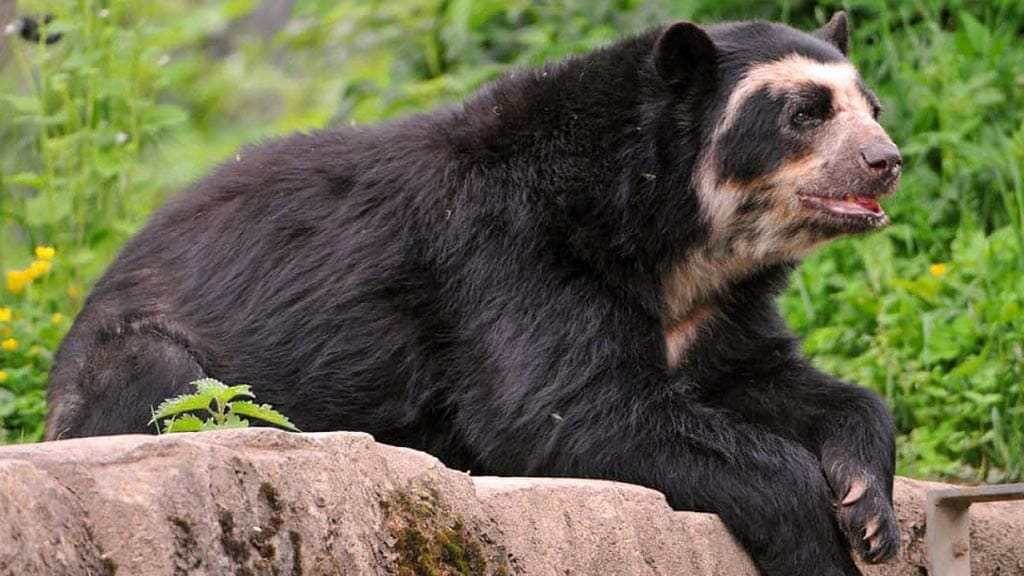 andean-bear-resting