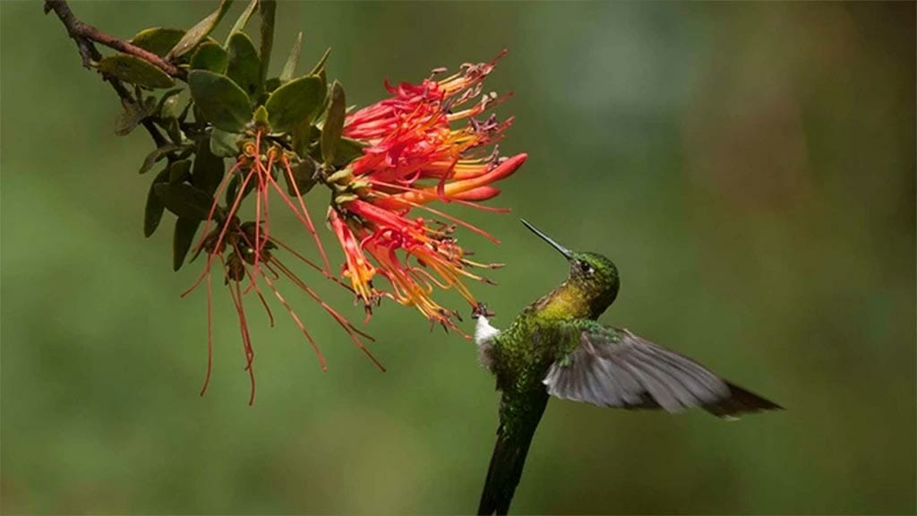 hummingbird hanging from a flower in the cloud forest ecuador