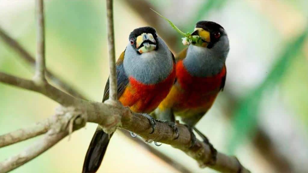 two masked trogon birds at bellavista lodge ecuador