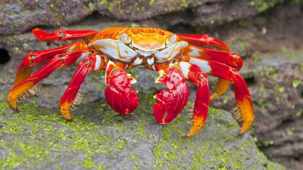 Darwin yacht galapagos cruise - sally lightfoot crab