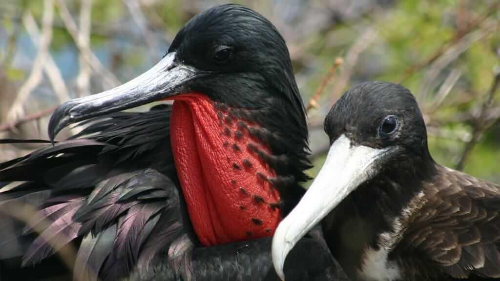 Darwin yacht galapagos cruise - frigate bird couple