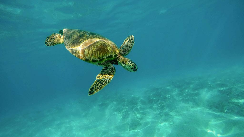 Aggressor III dive yacht Galapagos cruise - scuba diving with sea turtles