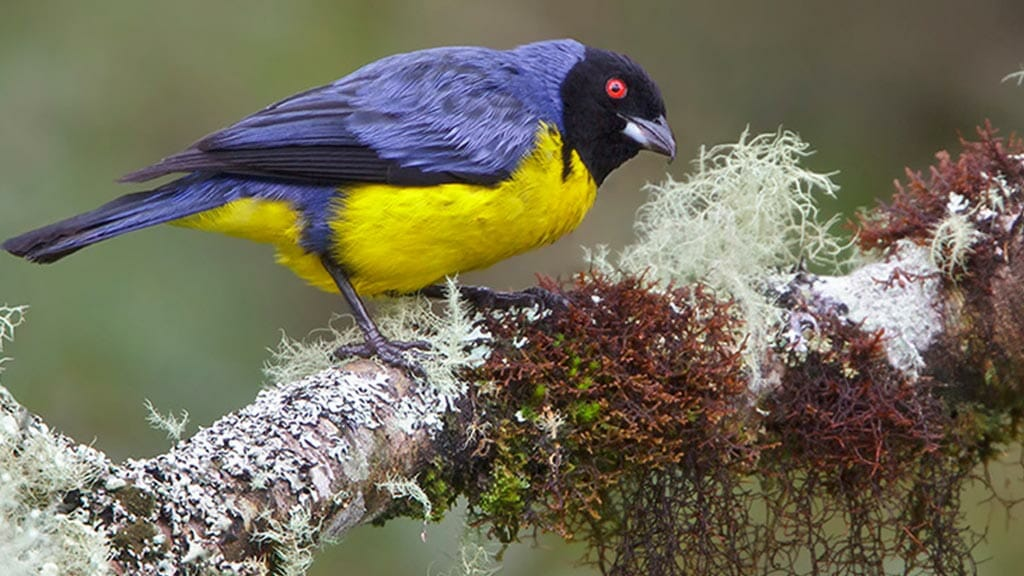 colorful blue and yellow hooded mountain tanager at guango lodge ecuador