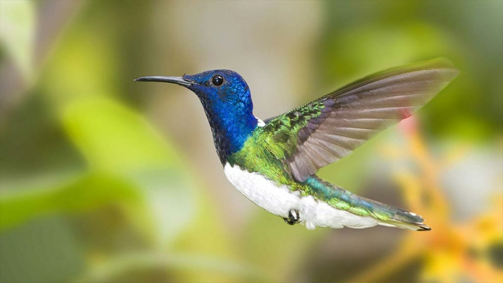 white necked jacobin hummingbird in midflight at guango lodge cloud forest ecuador