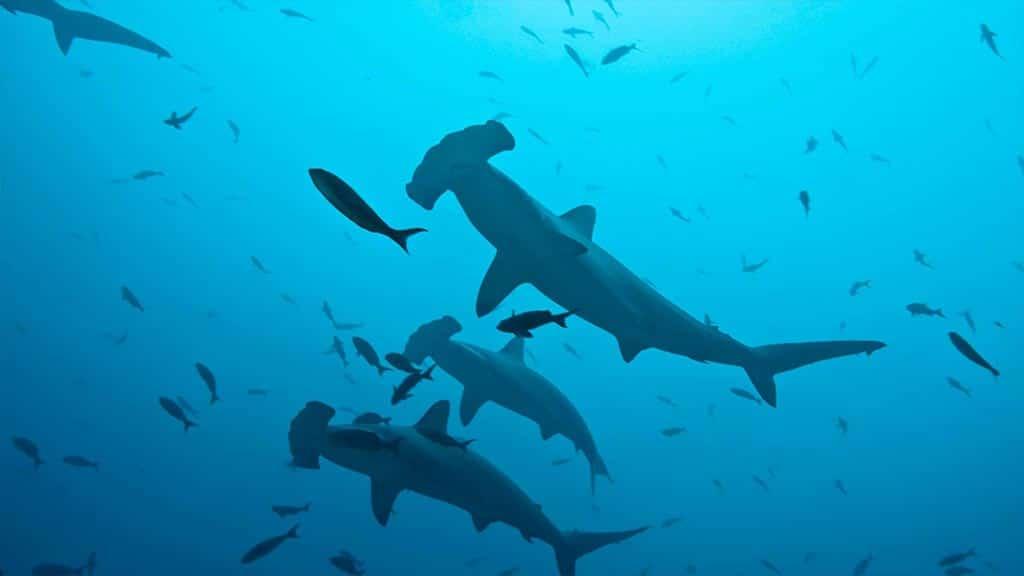 Humboldt Explorer yacht Galapagos scuba - dive with hammerhead sharks