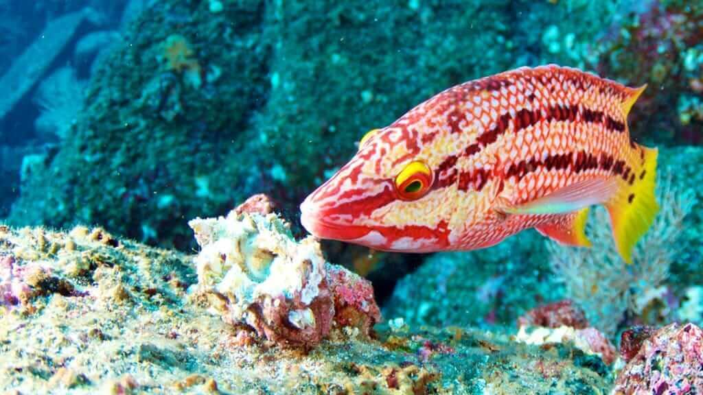 Humboldt Explorer yacht Galapagos scuba diving - spot colorful reef fish