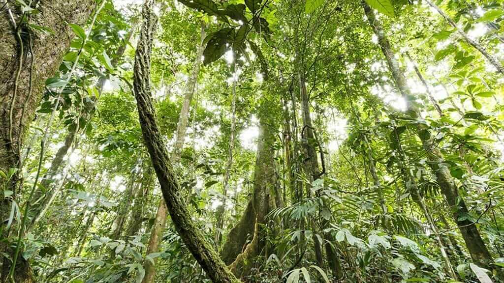 dense forest in ecuador's amazon jungle