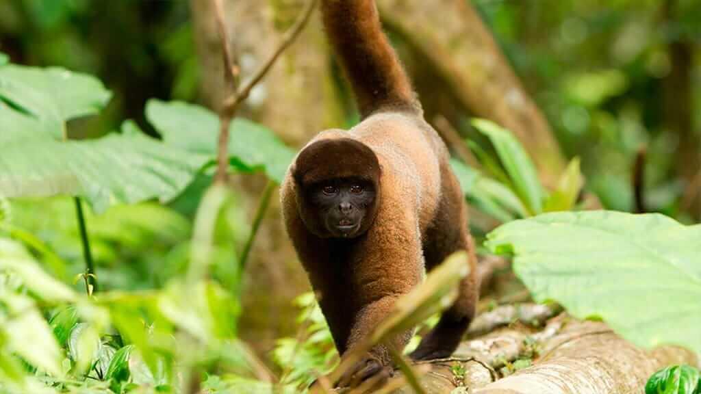 woolly monkey walking in amazon rainforest