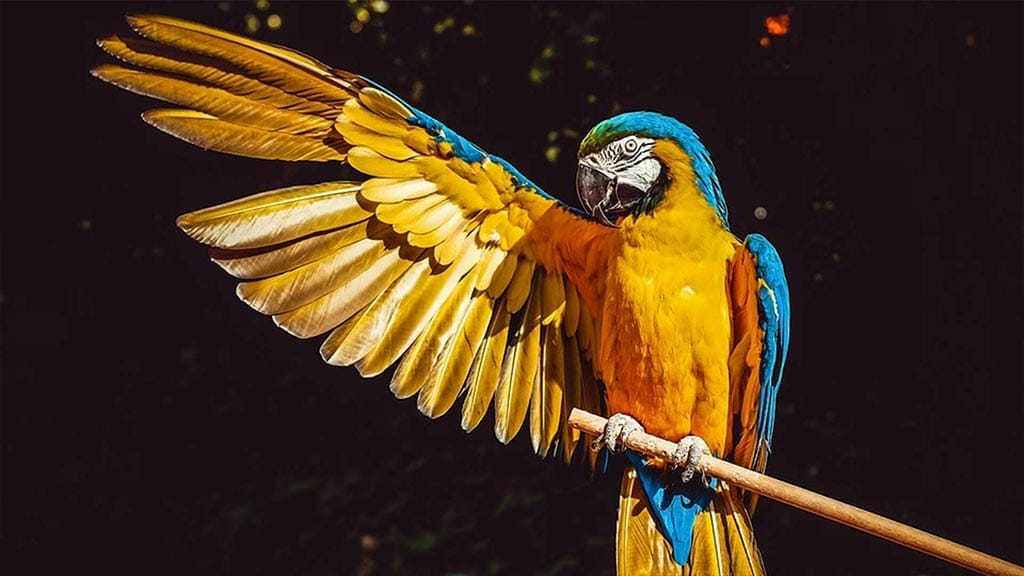 blue and yellow Macaw sitting on a branch with one wing stretched out in the forest - Ecuador Amazon rainforest