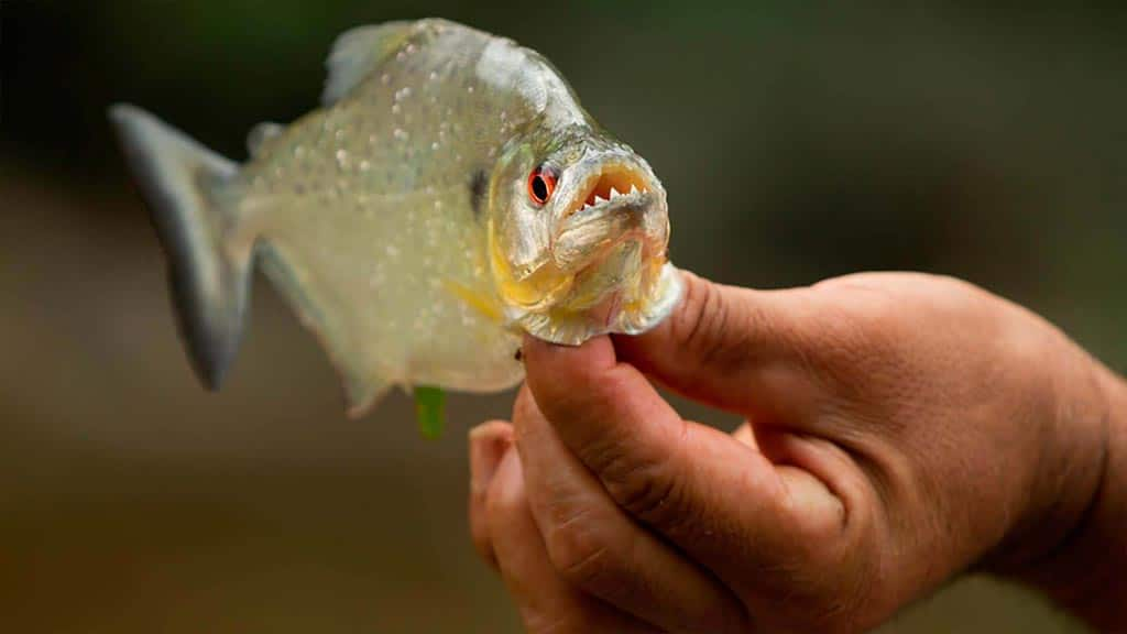 guide holding a piranha fish in ecuador rainforest