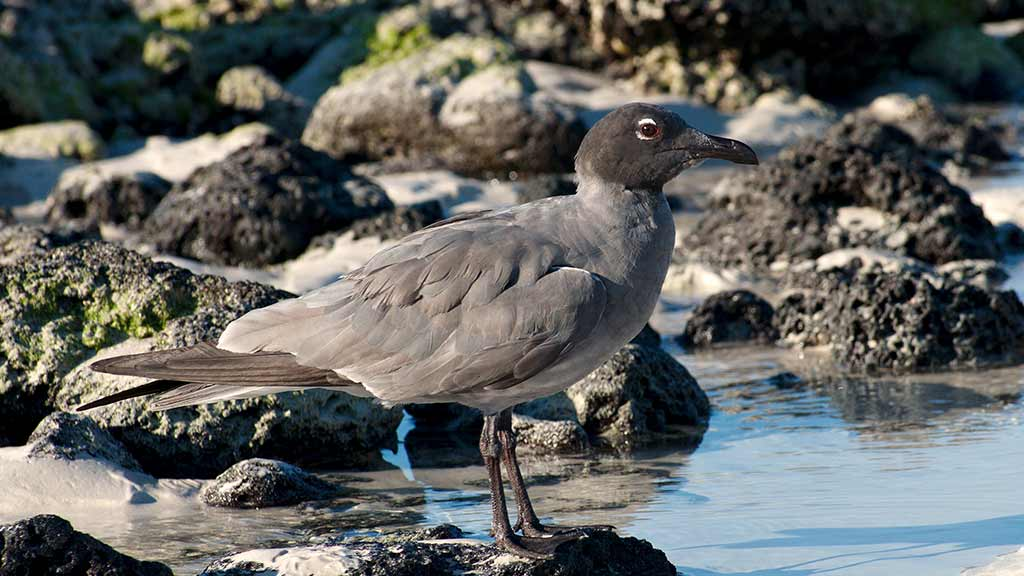 rare lava gull at the Galapagos islands perched on a rock