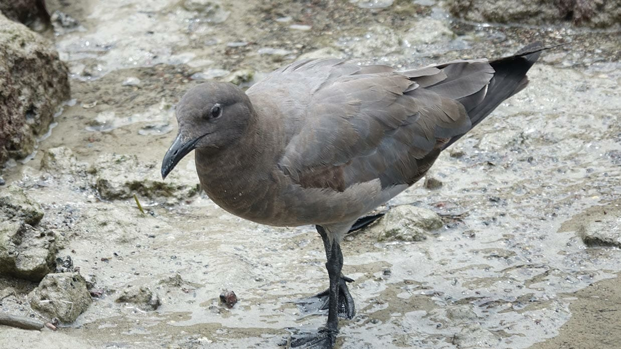 sooty colored lava gull in galapagos islands