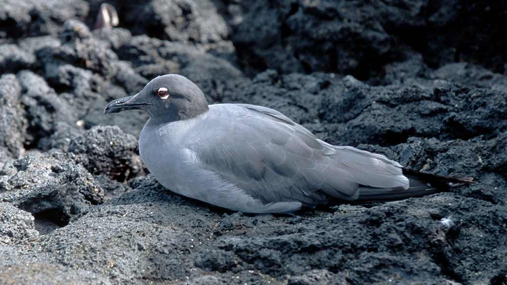 lava gull resting on black lava at Galapagos