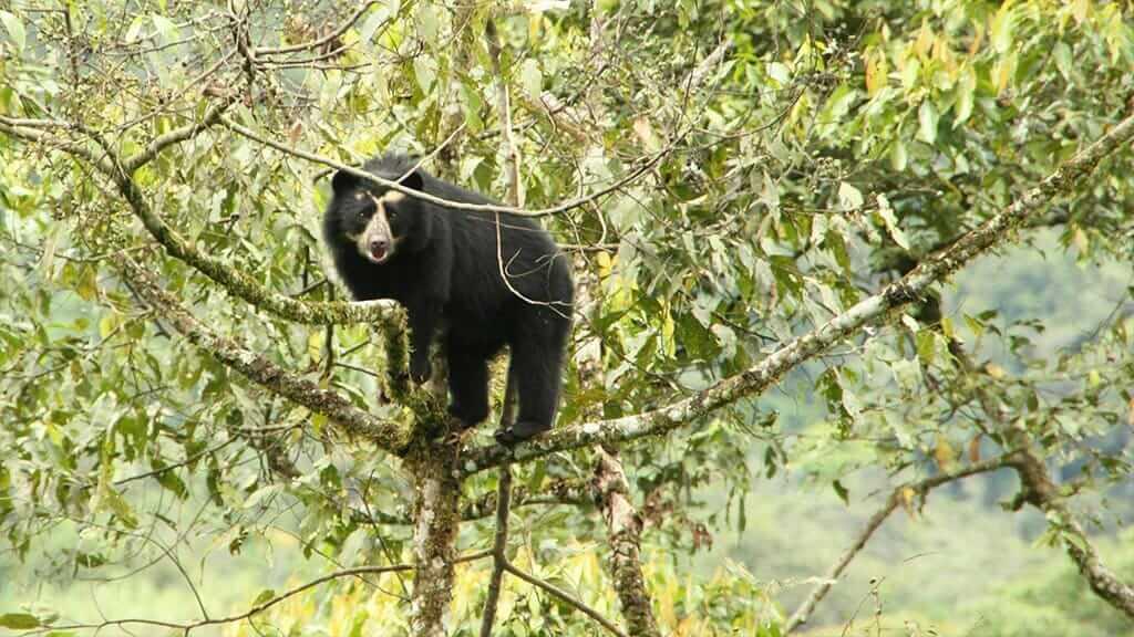 andean bear season at maquipucuna reserve ecuador
