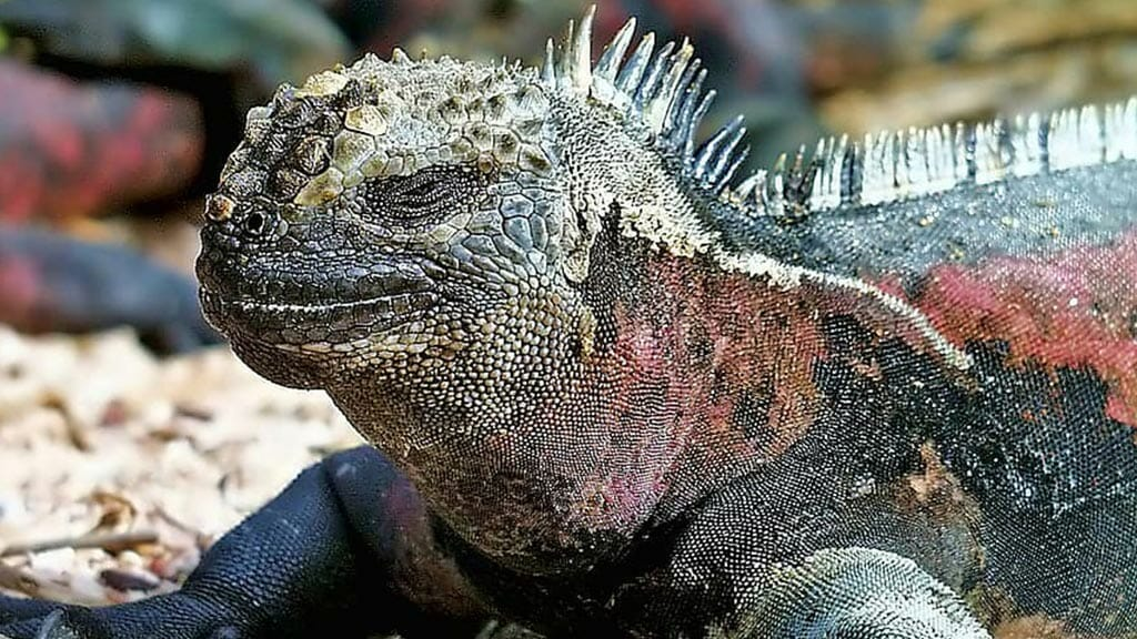 Adult Galapagos marine iguana changing color to red and green scales for mating season