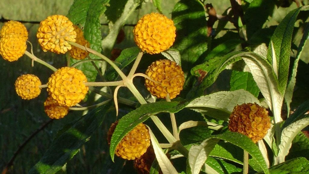 yellow ecuador matico plant flowers has medicinal uses as an antiseptic