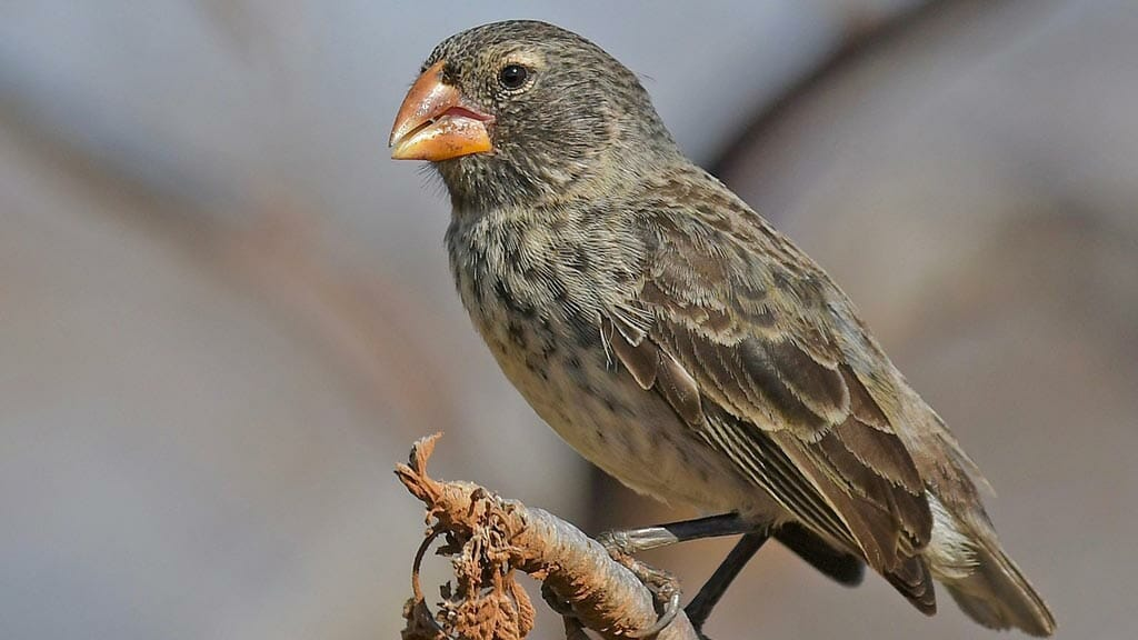 medium ground finch found at the galapagos islands