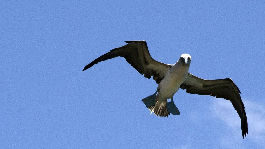 galapagos blue footed booby in flight seen aboard the Millenium yacht