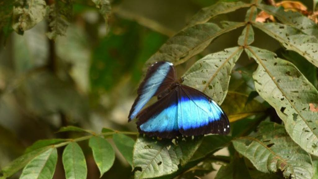 bright blue butterfly at Napo cultural center lodge ecuador