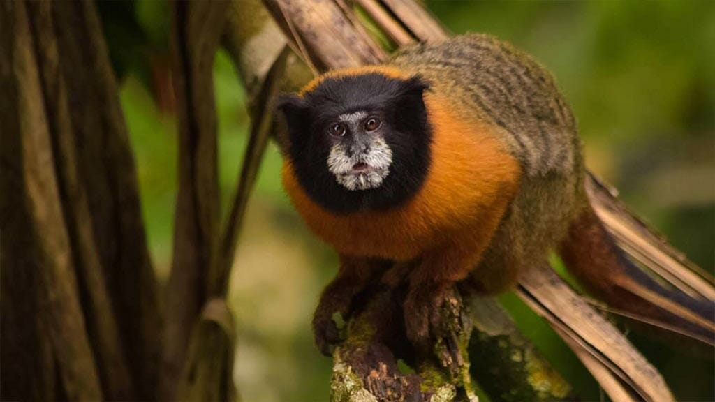 wildlife watching of colorful monkey at the Napo cultural center amazon lodge