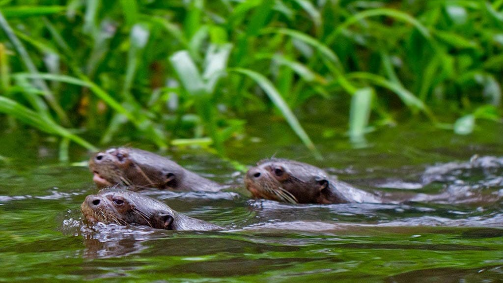 3 giant otters swimming together in the jungle river at Ecuador's napo wildlife center lodge