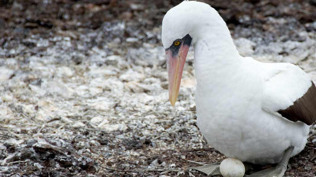 Nazca booby bird protecting her egg at the Galapagos islands