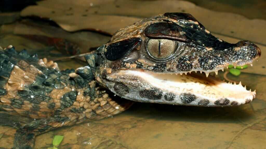 closeup of baby caiman alligator at piranha jungle lodge cuyabeno ecuador