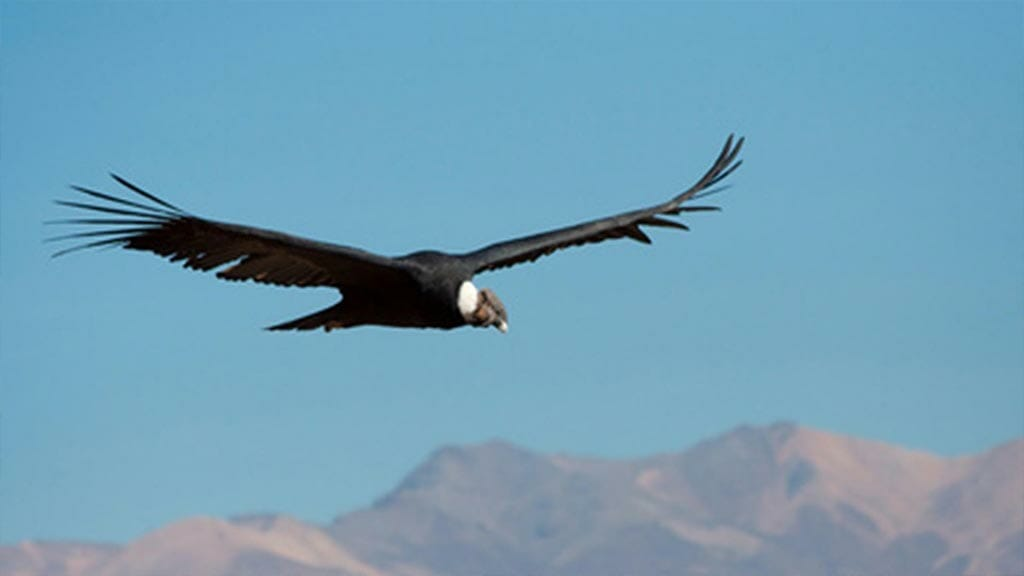 andean condor gliding the thermals at colca canyon peru