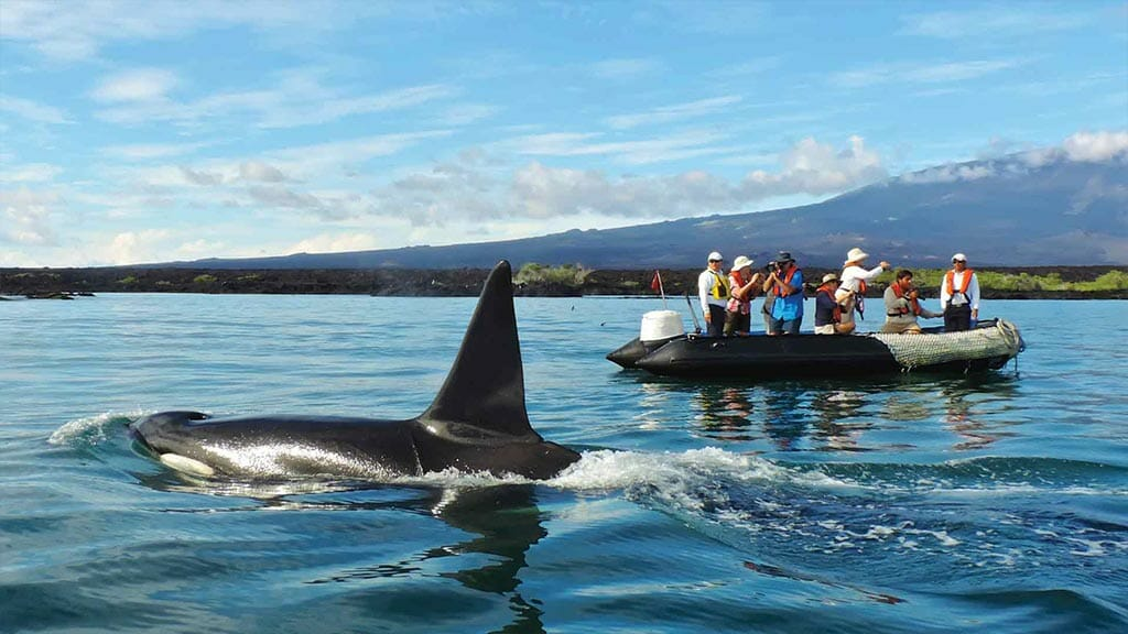 santa cruz ii galapagos cruise ship - tourists spot an orca whale from their panga