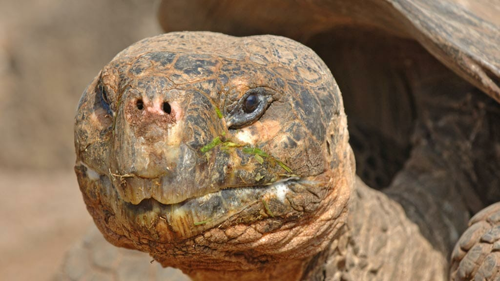 face closeup of galapagos tortoise