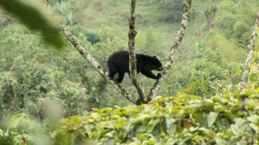 spectacled-bear-in-tree