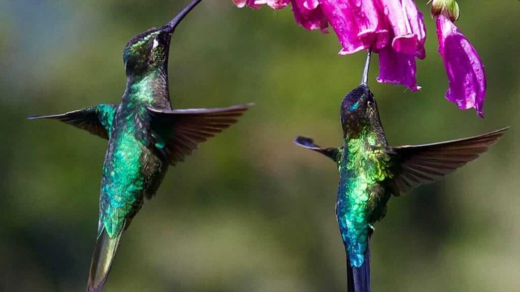 2 hummingbirds hover drinking nectar from pink flower at tandayapa bird lodge cloudforest ecuador