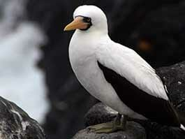 Galapagos Nazca booby sitting alone on black lava cliff with white and black plumage and orange beak