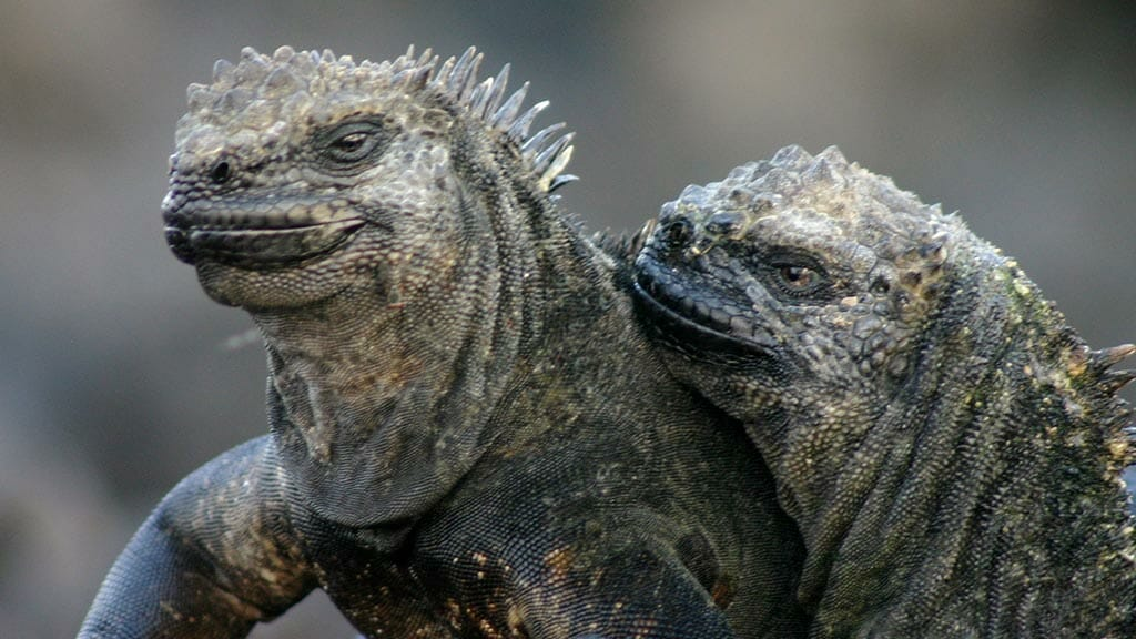 Two Galapagos marine iguanas huddle together for warmth in romantic pose