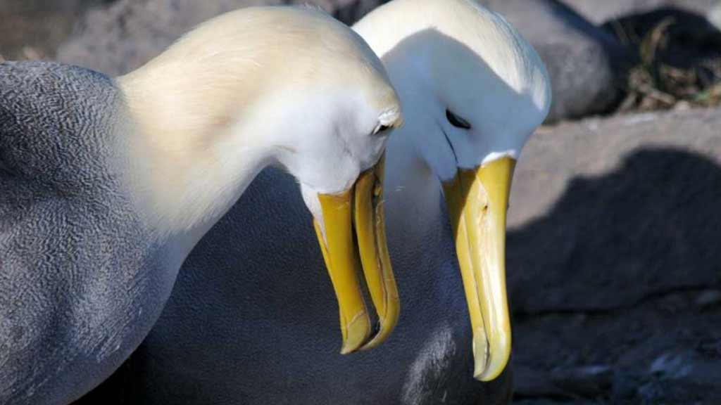 close up of two Galapagos waved albatross with elegant white and grey feathers and large yellow beaks