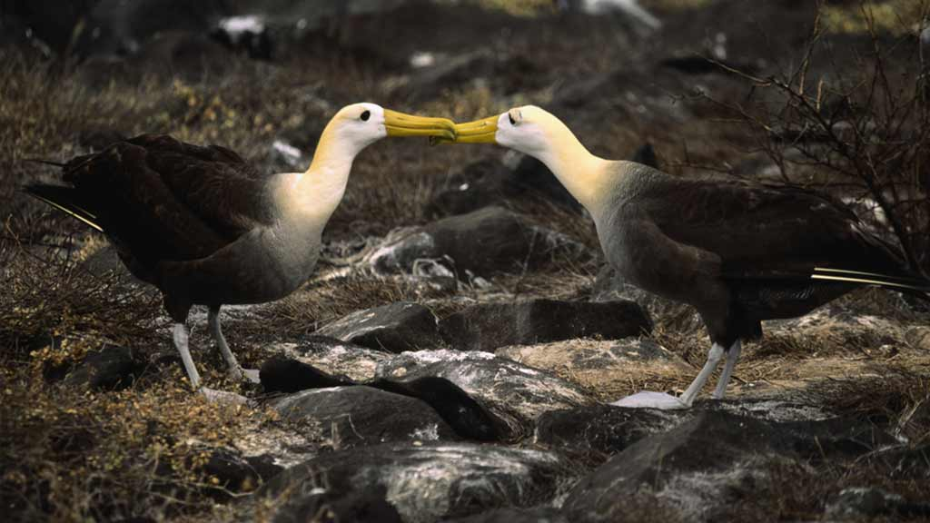 two galapagos albatross touch beaks during courtship at Suarez Point Espanola island