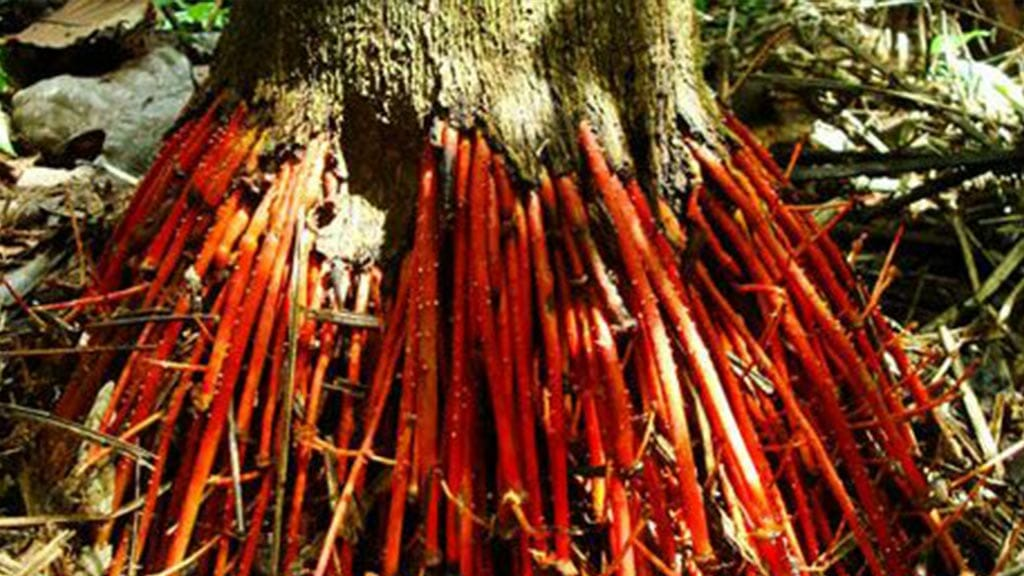 Wasai red walking roots are used in ecuador medicine for good kidney health